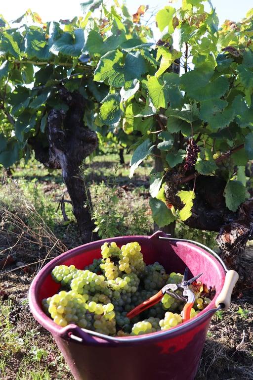 Vendanges Melon de Bourgogne